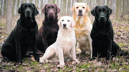 كلب اللابرادور Labrador Retriever مع الصور